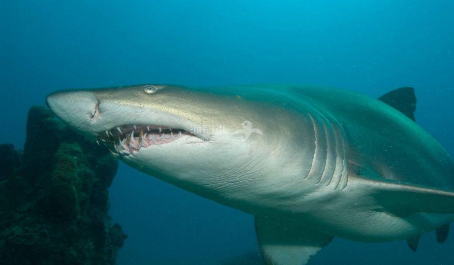 细思极恐!男游客游泳时失踪,其戴婚戒断手在鲨鱼胃里被发现