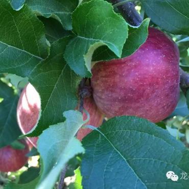 「海外生活」看了这些,新西兰苹果你还敢吃吗?