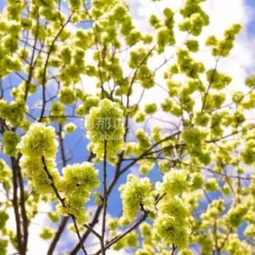 有些花,愿意长得像叶子