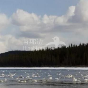 育空地区的天鹅湖:3 千白天鹅大聚会