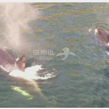 大饱眼福:加拿大BC省多条鲸鱼在帆船前嬉耍